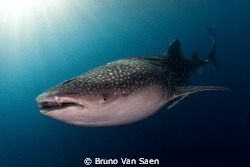 Whaleshark by Bruno Van Saen 